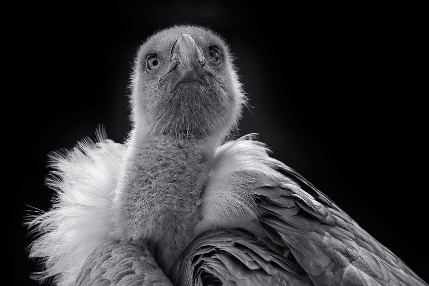 Vulture [no. 1622]