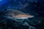 Sant Tiger Shark at Dubai Mall Aquarium [no. 1751]