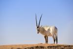 Oryx [no. 2085]