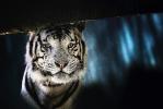 White Tiger  [no. 115]
